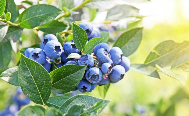 blueberries benefit from specialty crop protection